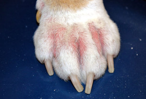 pododermatitis hond
